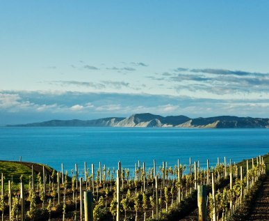 Sauvignon blanc vines from Marlborough, New Zealand.